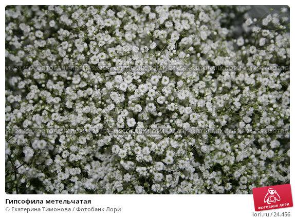 Гипсофила метельчатая, фото № 24456, снято 29 мая 2006 г. (c) Екатерина Тимонова / Фотобанк Лори