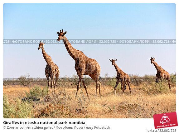 Giraffes in etosha national park namibia. Стоковое фото, фотограф Zoonar.com/matthieu gallet / easy Fotostock / Фотобанк Лори
