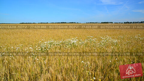Купить «Glade of camomiles in ripe wheat field», видеоролик № 27028088, снято 15 июля 2017 г. (c) Володина Ольга / Фотобанк Лори