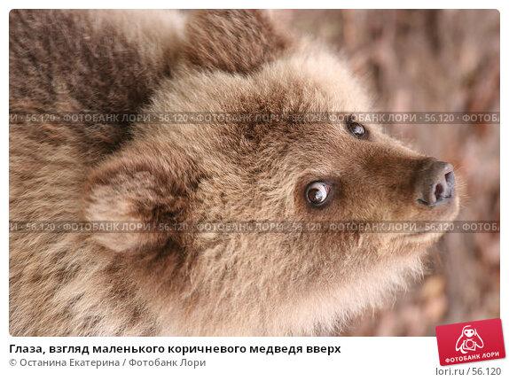 Глаза, взгляд маленького коричневого медведя вверх, фото № 56120, снято 8 октября 2006 г. (c) Останина Екатерина / Фотобанк Лори