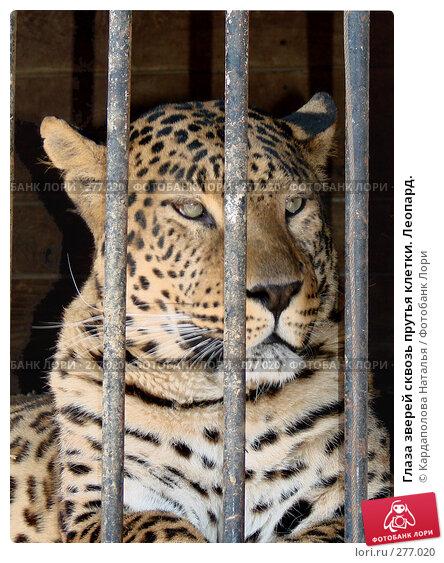 Глаза зверей сквозь прутья клетки. Леопард., фото № 277020, снято 1 мая 2008 г. (c) Кардаполова Наталья / Фотобанк Лори