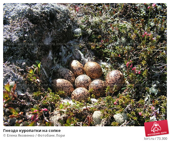 Гнездо куропатки на сопке, фото № 73300, снято 13 ноября 2006 г. (c) Елена Яковенко / Фотобанк Лори