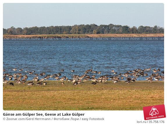Gänse am Gülper See, Geese at Lake Gülper. Стоковое фото, фотограф Zoonar.com/Gerd Herrmann / easy Fotostock / Фотобанк Лори