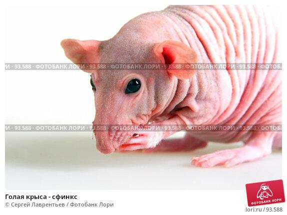 Купить «Голая крыса - сфинкс», фото № 93588, снято 23 сентября 2007 г. (c) Сергей Лаврентьев / Фотобанк Лори