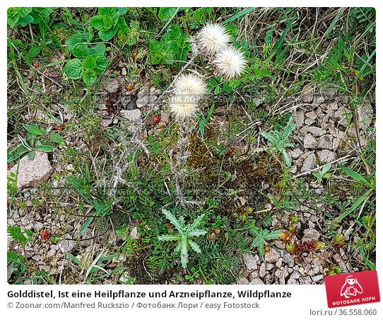 Golddistel, Ist eine Heilpflanze und Arzneipflanze, Wildpflanze. Стоковое фото, фотограф Zoonar.com/Manfred Ruckszio / easy Fotostock / Фотобанк Лори