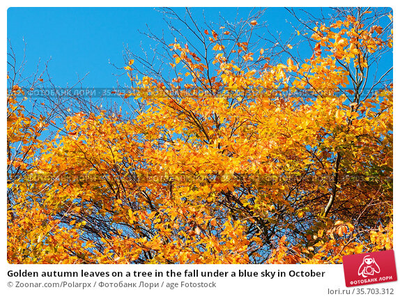 Golden autumn leaves on a tree in the fall under a blue sky in October. Стоковое фото, фотограф Zoonar.com/Polarpx / age Fotostock / Фотобанк Лори