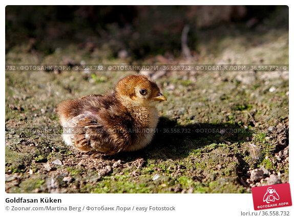 Goldfasan Küken. Стоковое фото, фотограф Zoonar.com/Martina Berg / easy Fotostock / Фотобанк Лори