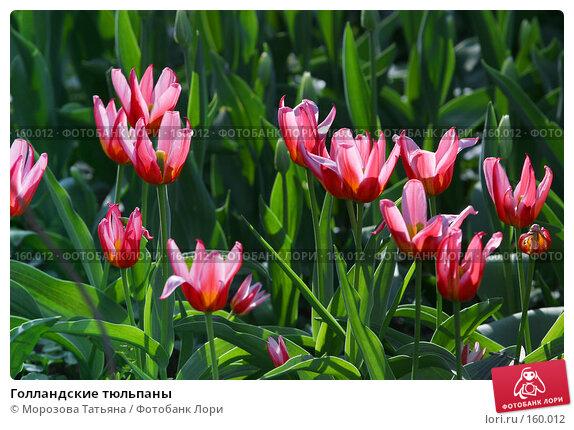 Голландские тюльпаны, фото № 160012, снято 7 мая 2006 г. (c) Морозова Татьяна / Фотобанк Лори