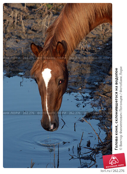 Голова коня, склонившегося на водопое, фото № 262276, снято 6 ноября 2004 г. (c) Виктор Филиппович Погонцев / Фотобанк Лори