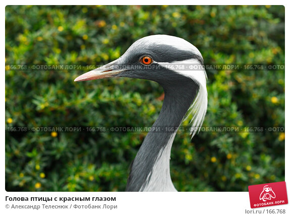 Купить «Голова птицы с красным глазом», фото № 166768, снято 8 сентября 2007 г. (c) Александр Телеснюк / Фотобанк Лори
