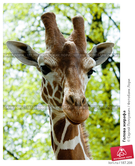 Голова жирафа, фото № 187208, снято 30 апреля 2007 г. (c) Сергей Попсуевич / Фотобанк Лори