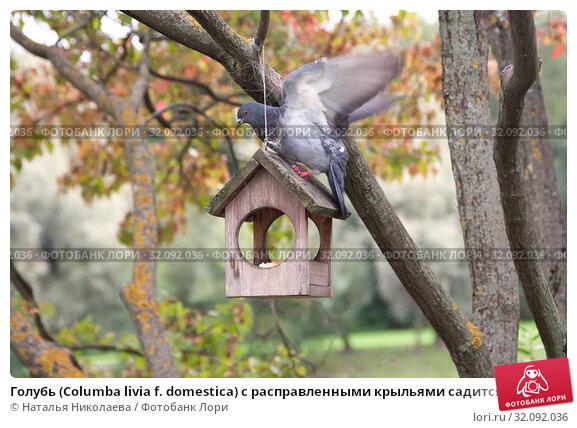 Купить «Голубь (Columba livia f. domestica) с расправленными крыльями садится на маленький домик-кормушку, висящий на дереве в парке», фото № 32092036, снято 19 августа 2019 г. (c) Наталья Николаева / Фотобанк Лори