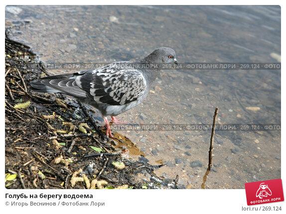 Голубь на берегу водоема, фото № 269124, снято 1 мая 2008 г. (c) Игорь Веснинов / Фотобанк Лори