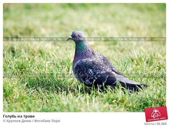 Купить «Голубь на траве», фото № 36364, снято 27 марта 2007 г. (c) Крупнов Денис / Фотобанк Лори