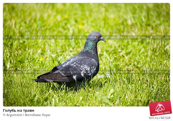 Голубь на траве, фото № 60528, снято 14 июня 2007 г. (c) Argument / Фотобанк Лори