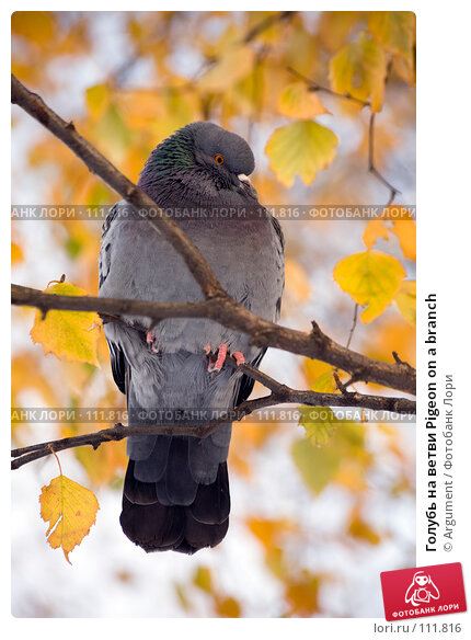 Голубь на ветви Pigeon on a branch, фото № 111816, снято 5 ноября 2006 г. (c) Argument / Фотобанк Лори