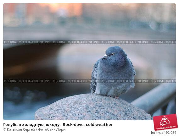 Голубь в холодную походу.  Rock-dove, cold weather, фото № 192084, снято 3 января 2008 г. (c) Катыкин Сергей / Фотобанк Лори