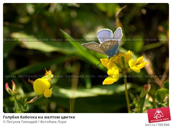 Голубая бабочка на желтом цветке, фото № 169844, снято 11 июня 2007 г. (c) Петухов Геннадий / Фотобанк Лори