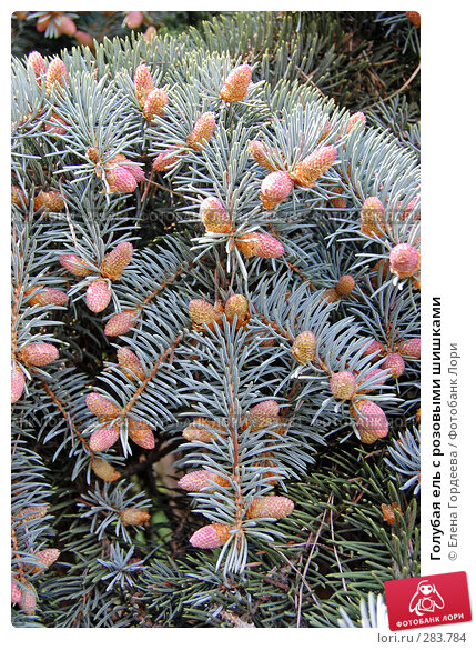Голубая ель с розовыми шишками, фото № 283784, снято 11 мая 2008 г. (c) Елена Гордеева / Фотобанк Лори