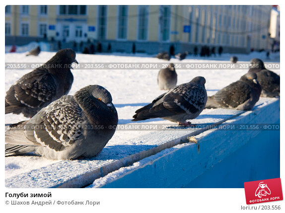 Купить «Голуби зимой», фото № 203556, снято 7 февраля 2008 г. (c) Шахов Андрей / Фотобанк Лори