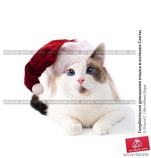 Купить «Голубоглазая домашняя кошка в колпаке Санты», фото № 921616, снято 30 сентября 2007 г. (c) Ольга С. / Фотобанк Лори