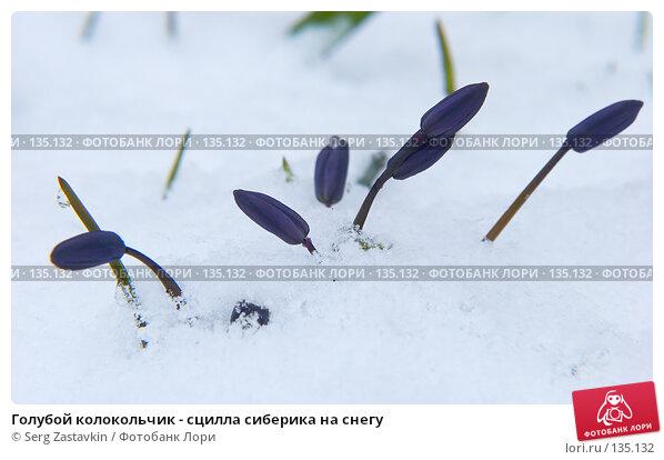 Купить «Голубой колокольчик - сцилла сиберика на снегу», фото № 135132, снято 2 мая 2006 г. (c) Serg Zastavkin / Фотобанк Лори