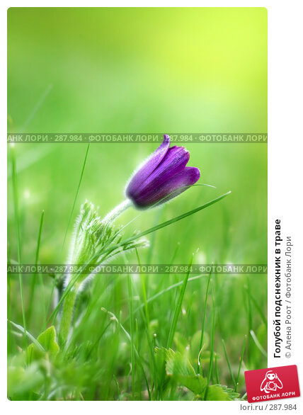 Голубой подснежник в траве, фото № 287984, снято 28 мая 2006 г. (c) Алена Роот / Фотобанк Лори