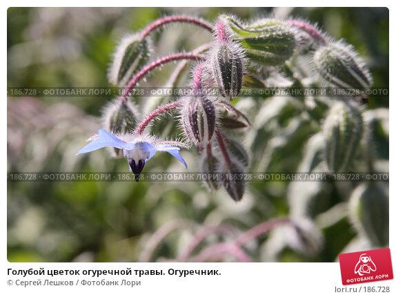 Голубой цветок огуречной травы. Огуречник., фото № 186728, снято 28 июля 2007 г. (c) Сергей Лешков / Фотобанк Лори