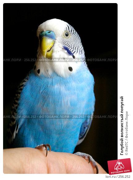 Голубой волнистый попугай, фото № 256252, снято 19 апреля 2008 г. (c) RedTC / Фотобанк Лори