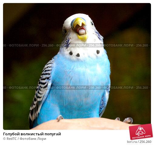 Голубой волнистый попугай, фото № 256260, снято 19 апреля 2008 г. (c) RedTC / Фотобанк Лори