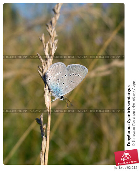 Голубянка Cyaniris semiargus, фото № 92212, снято 17 июля 2007 г. (c) Вячеслав Потапов / Фотобанк Лори