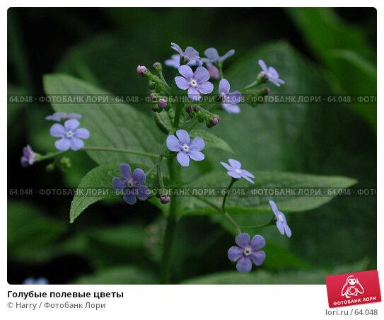Голубые полевые цветы, фото № 64048, снято 30 апреля 2004 г. (c) Harry / Фотобанк Лори