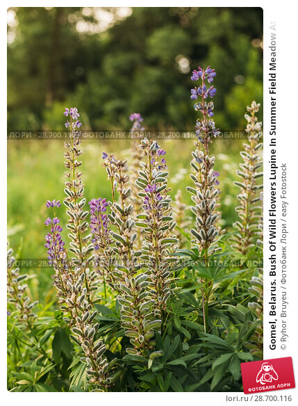 Купить «Gomel, Belarus. Bush Of Wild Flowers Lupine In Summer Field Meadow At Sunset Sunrise. Lupinus, Commonly Known As Lupin Or Lupine, Is A Genus Of Flowering Plants In The Legume Family, Fabaceae.», фото № 28700116, снято 13 июня 2016 г. (c) easy Fotostock / Фотобанк Лори