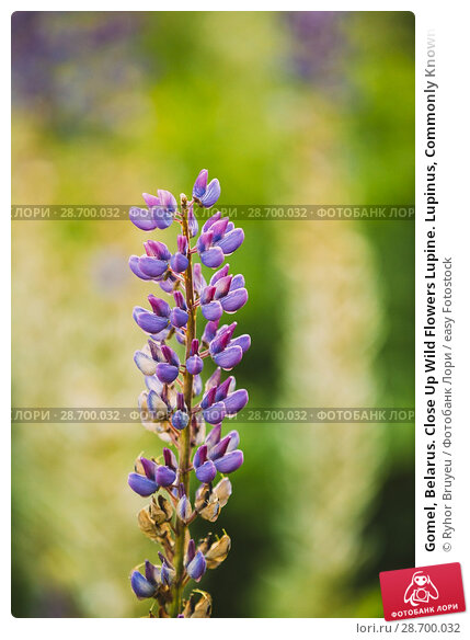 Купить «Gomel, Belarus. Close Up Wild Flowers Lupine. Lupinus, Commonly Known As Lupin Or Lupine, Is A Genus Of Flowering Plants In The Legume Family, Fabaceae.», фото № 28700032, снято 11 июня 2016 г. (c) easy Fotostock / Фотобанк Лори