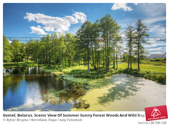 Купить «Gomel, Belarus. Scenic View Of Summer Sunny Forest Woods And Wild Bog With Duckweed On Water Surface. Nature. Nobody. Blue Sky.», фото № 28700120, снято 13 июня 2016 г. (c) easy Fotostock / Фотобанк Лори