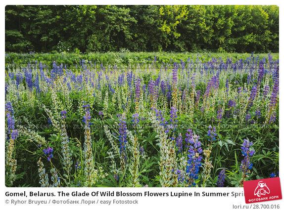 Купить «Gomel, Belarus. The Glade Of Wild Blossom Flowers Lupine In Summer Spring Meadow Field In Sunset Sunrise. Greenwood Background. Lupinus, Lupin Or Lupine...», фото № 28700016, снято 11 июня 2016 г. (c) easy Fotostock / Фотобанк Лори