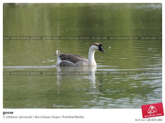 Купить «goose», фото № 28003480, снято 17 июня 2019 г. (c) PantherMedia / Фотобанк Лори