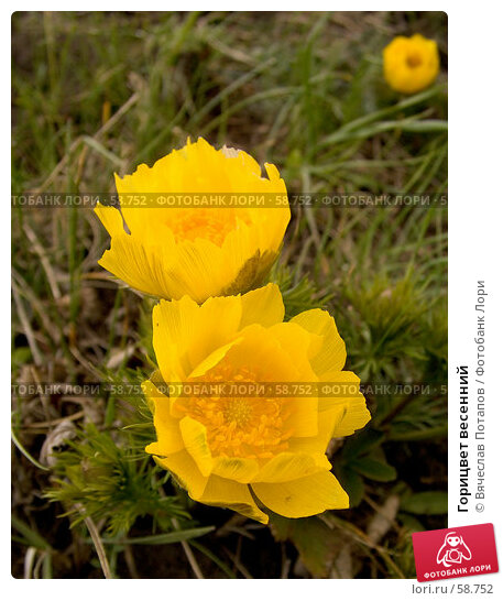 Горицвет весенний, фото № 58752, снято 14 апреля 2007 г. (c) Вячеслав Потапов / Фотобанк Лори