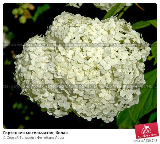 Купить «Гортензия метельчатая, белая», фото № 139748, снято 2 августа 2006 г. (c) Сергей Бочаров / Фотобанк Лори