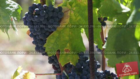 grape plants with berries, видеоролик № 24833396, снято 2 октября 2016 г. (c) Яков Филимонов / Фотобанк Лори
