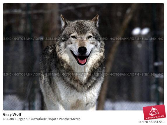 an essay on wolf predation