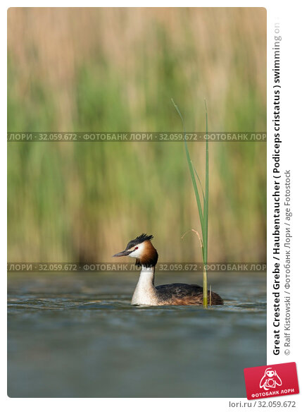 Great Crested Grebe / Haubentaucher ( Podiceps cristatus ) swimming on a lake in front of reeds, typical, characteristic surrounding, wildlife Europe. Стоковое фото, фотограф Ralf Kistowski / age Fotostock / Фотобанк Лори