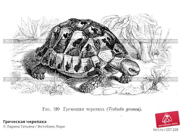 Греческая черепаха, фото № 257228, снято 23 июля 2017 г. (c) Ларина Татьяна / Фотобанк Лори