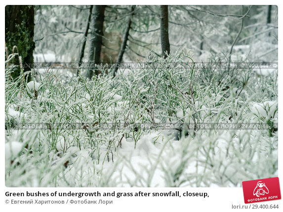 Купить «Green bushes of undergrowth and grass after snowfall, closeup,», фото № 29400644, снято 2 ноября 2018 г. (c) Евгений Харитонов / Фотобанк Лори