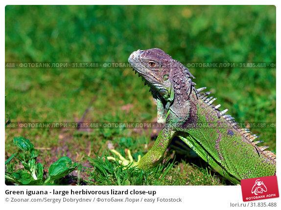 Green iguana - large herbivorous lizard close-up. Стоковое фото, фотограф Zoonar.com/Sergey Dobrydnev / easy Fotostock / Фотобанк Лори