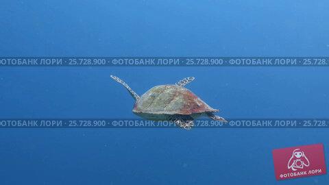 Купить «Green sea turtle Chelonia mydas It floats on the water surface to breathe», видеоролик № 25728900, снято 8 марта 2017 г. (c) Фотограф / Фотобанк Лори