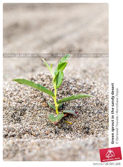 Купить «Green sprout in the sandy desert», фото № 28581268, снято 13 августа 2016 г. (c) Евгений Ткачёв / Фотобанк Лори