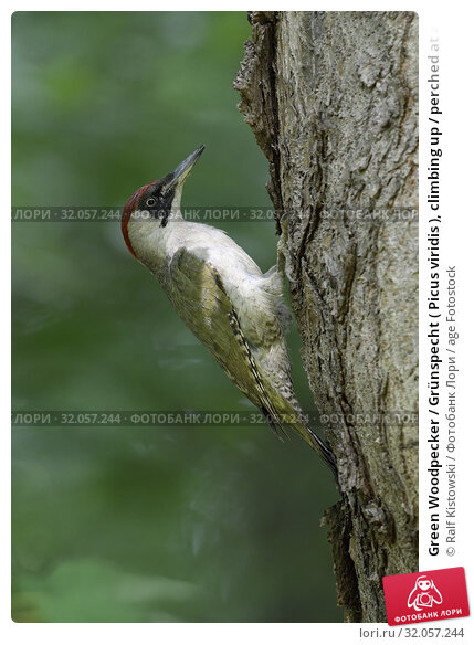 Green Woodpecker / Grünspecht ( Picus viridis ), climbing up / perched at a tree trunk, Europe. Стоковое фото, фотограф Ralf Kistowski / age Fotostock / Фотобанк Лори