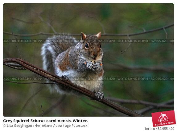 Grey Squirrel-Sciurus carolinensis. Winter. Стоковое фото, фотограф Lisa Geoghegan / age Fotostock / Фотобанк Лори