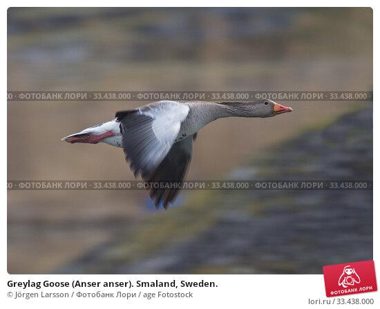 Купить «Greylag Goose (Anser anser). Smaland, Sweden.», фото № 33438000, снято 1 мая 2019 г. (c) age Fotostock / Фотобанк Лори